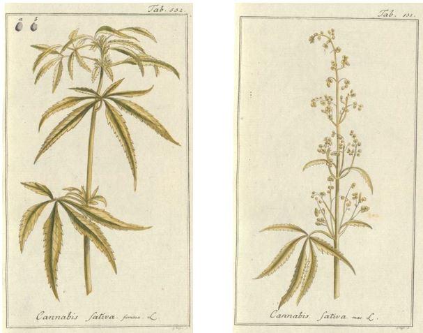 01_Zorn_Icones plantarum medicinalium_1790_Tafel532_531