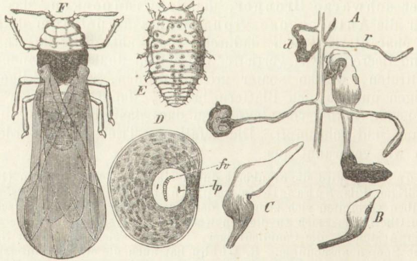 043_Eulenburg_Hg_1882_p616_Insekten_Reblaus